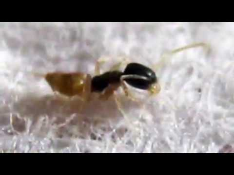 New Ghost Ant Colony