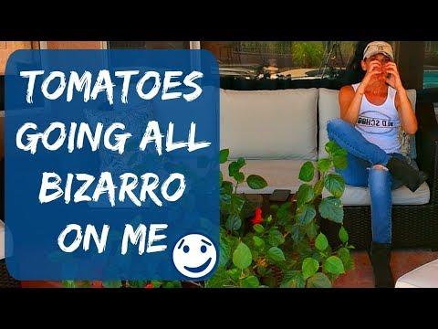 Weird, Strange & Unusual Tomato Shapes Growing In My Garden