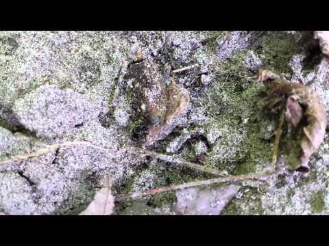 Mutant Carpenter Ant at Black Creek