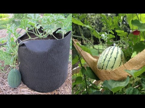 10 Tips To Grow Watermelon In containers No Matter where You Live