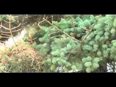 Black rat snakes invade bird nest