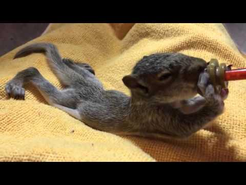 One of the baby squirrels at feeding time.