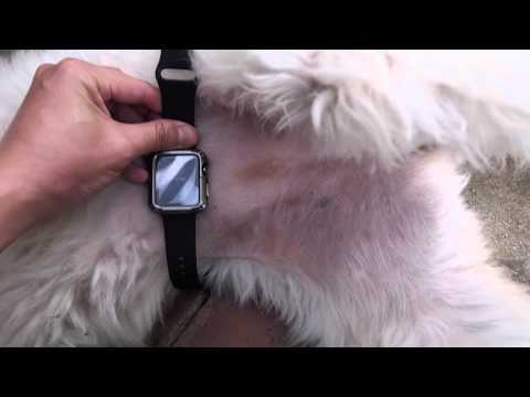 Measuring Heart Rate on Dogs with Apple Watch