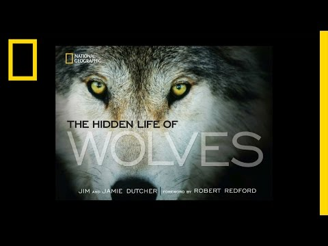 The Hidden Life of Wolves | National Geographic