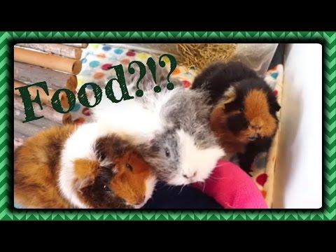 Cute Guinea Pigs Begging for Treats!   Squeak Dreams