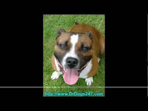 Ear Infections in PitBulls.mp4