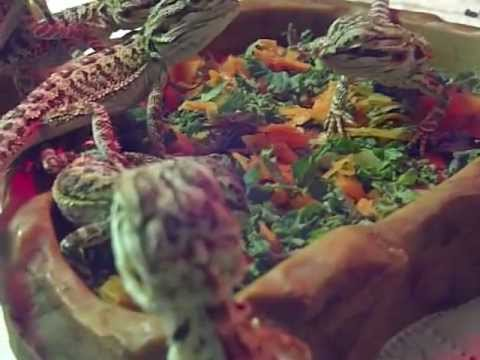 25 baby bearded dragons eating veg for first time