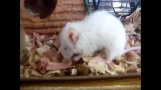Pet Mouse Gnawing