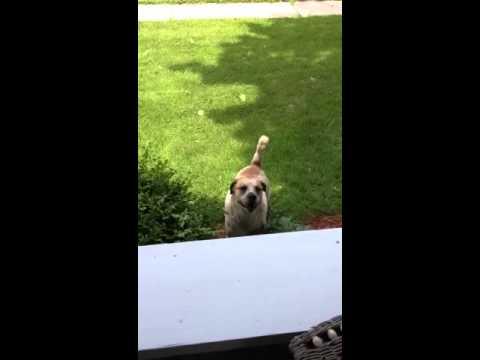 aggressive dog barking @ a stranger