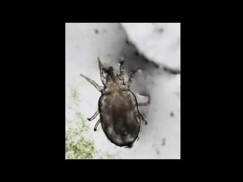 Dust Mites Poop video