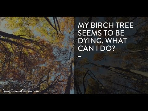 My Birch Tree Is Dying. What Can I Do?