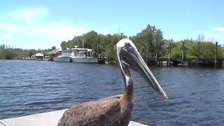 Pelican Lands on Everglades Air Boat