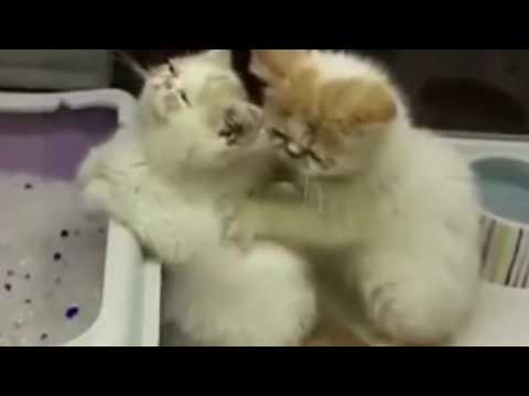 The Female Cat Massage to Male Cat