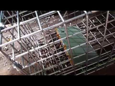 Havahart squirrel trap in action