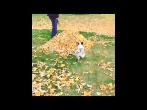 Australian Shepherd puppy pile-jumper!