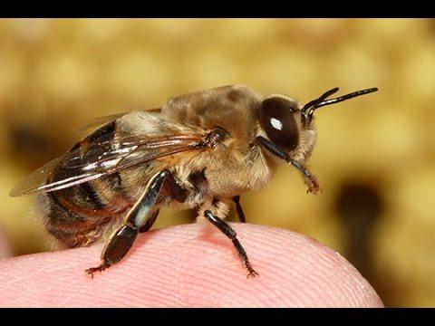 Attack Of The Africanized Killer Bee - Killer Bee Documentary - History TV