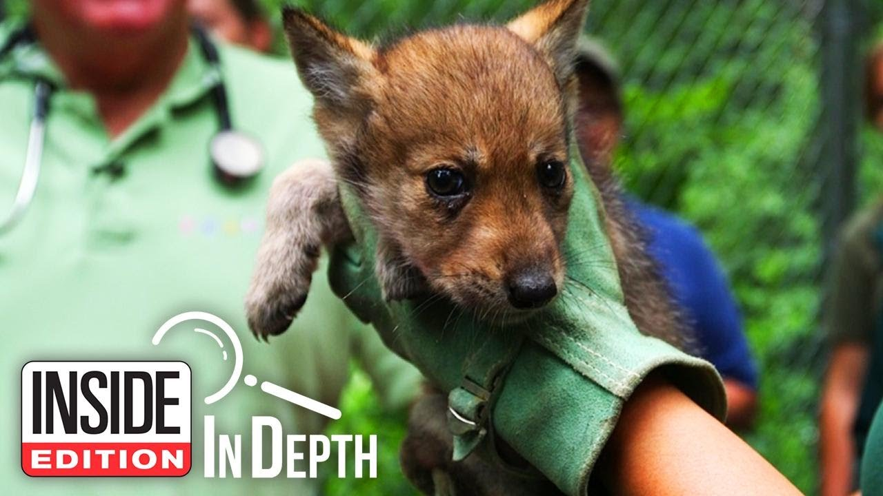 Why These Humans Hunt Wolf Pups to Save Them
