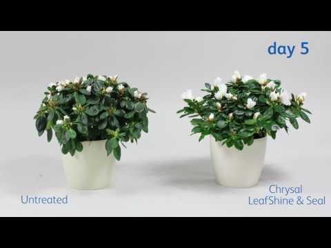 LeafShine & Seal and Azalea