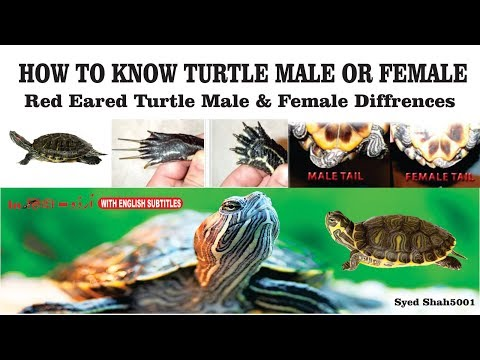 How to tell the difference between male and female red-eared slider Turtle is Male or Female