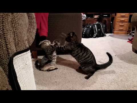 Kitten and Cat Playing Together and Wrestling | Kitty Gets Time Out for Playing too Rough