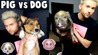 PIG vs DOG: Testing Pets Intelligence