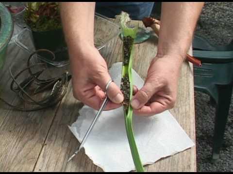 Pitcher Plant Dissection I SCIENCE OF GARDENING I Exploratorium