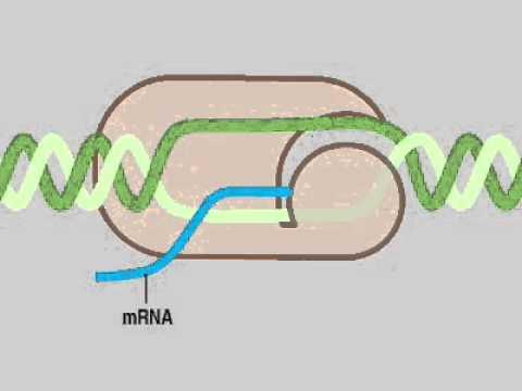12 03 Biosynthesis2 ssDNA