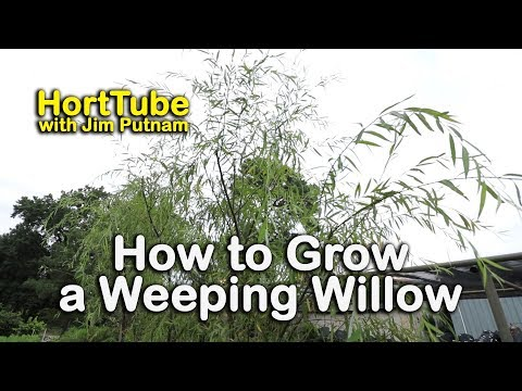 How to grow a Weeping Willow - Salix babylonica - Fast Growing Graceful Tree