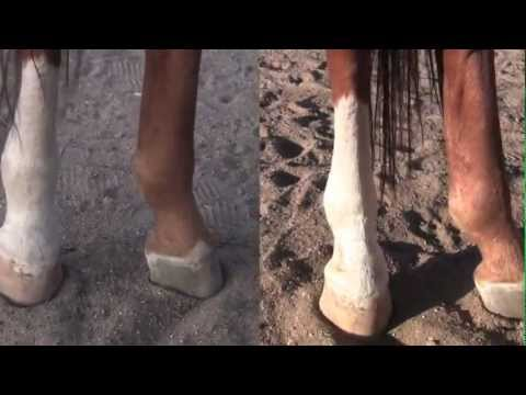 Equine leg care for swollen leg- Horse liniment- Horse care with Clifta Lenee