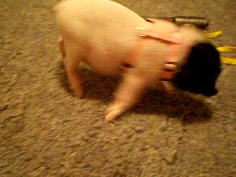 micro pig goes nuts