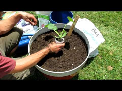 Growing Squash & Zucchini (Cucumber & Melons Too) in Large Containers: Soil Set Up & Planting