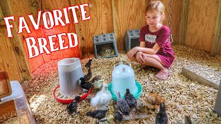 The Breed Of Chicken She39s TRULY Passionate About Raising Chickens