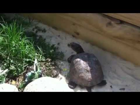 Keeping your Turtles Outdoors - Proper Care and Diet
