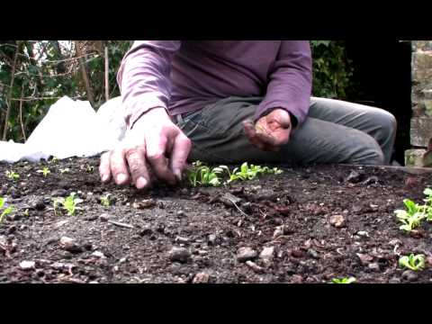 Mid April on Peter's Plot: Sowing Potatoes and Looking After Young Seedlings