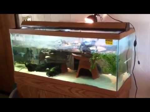 Turtles - Painted, Map and Slider's in 75 Gallon Tank