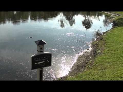Alligator at the Shades of Green Resort-DisneyWorld