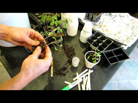 Complete Guide to Starting Tomatoes Indoors: Germination to Transplanting - The Rusted Garden 2013