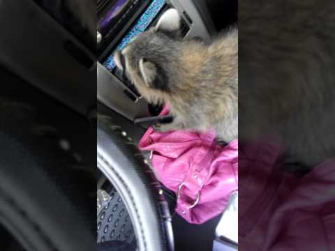 My last day with my baby raccoon I rescued