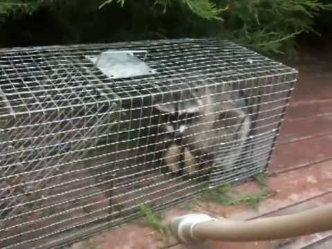 Catching a raccoon in a trap - Horse & Raccoon Fear - Rick Gore Horsemanship