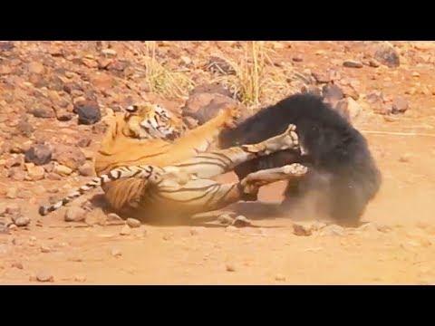 Ozzy Man Reviews: Sloth Bear vs Tiger