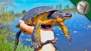 VERY RARE Island Turtle Found!