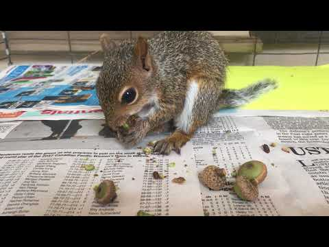 baby squirrel tasting his first acorns :)
