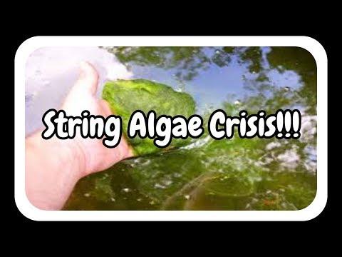 String Algae from my pond