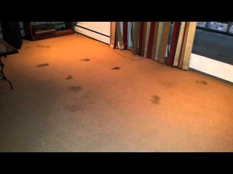 Lawrenceville NJ: How to Remove Dog Poop Stains From Carpet