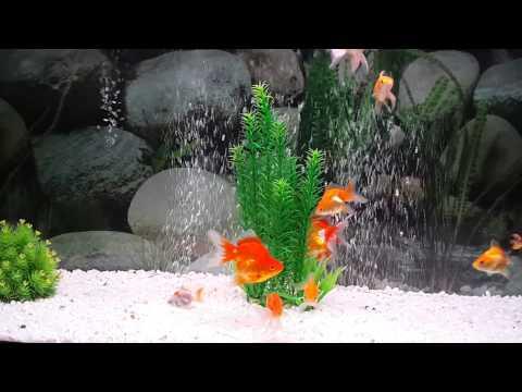 my happy goldfish in 200 ltre aquarium