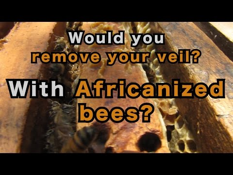 Africanized Bees Without a Veil?