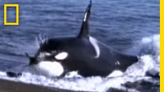 Killer Whale vs. Sea Lions   National Geographic