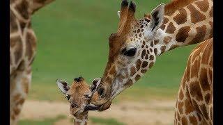 Giraffes - Wild Africa | Giraffe Behaviour and Lifestyle Habitat