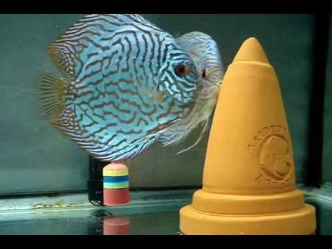 Discus fish update 8.09.11 - Discus fish laying eggs?