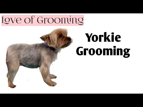 My Technique for Trimming Yorkie Legs